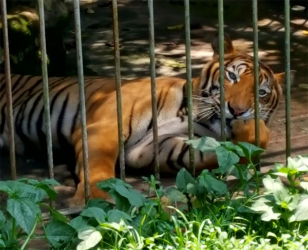Wildlife Quarantine Centre in Nakorn Nayok, rescued tigers, rescue centres, Vietnam economy, Vietnamnet bridge, English news about Vietnam, Vietnam news, news about Vietnam, English news, Vietnamnet news, latest news on Vietnam, Vietnam