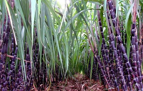VN sugar industry losing against imported products, vietnam economy, business news, vn news, vietnamnet bridge, english news, Vietnam news, news Vietnam, vietnamnet news, vn news, Vietnam net news, Vietnam latest news, Vietnam breaking news