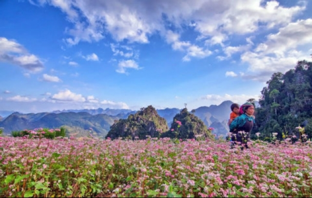 Ha Giang readies for Buckwheat Flower Festival 2017, travel news, Vietnam guide, Vietnam airlines, Vietnam tour, tour Vietnam, Hanoi, ho chi minh city, Saigon, travelling to Vietnam, Vietnam travelling, Vietnam travel, vn news