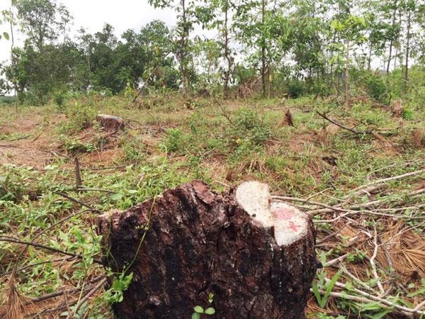 Thua Thien-Hue, pine forest, cut down, Vietnam economy, Vietnamnet bridge, English news about Vietnam, Vietnam news, news about Vietnam, English news, Vietnamnet news, latest news on Vietnam, Vietnam