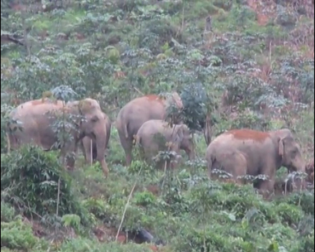 Wild elephants storm Nghe An village, social news, vietnamnet bridge, english news, Vietnam news, news Vietnam, vietnamnet news, Vietnam net news, Vietnam latest news, vn news, Vietnam breaking news