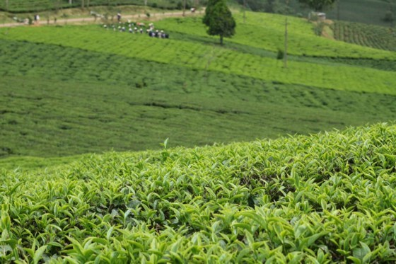 Cau Dat centennial tea plantation: Must-see destination in Da Lat, travel news, Vietnam guide, Vietnam airlines, Vietnam tour, tour Vietnam, Hanoi, ho chi minh city, Saigon, travelling to Vietnam, Vietnam travelling, Vietnam travel, vn news