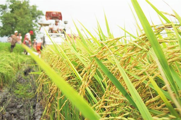 Vietnam rice exporters should focus on Asian markets, vietnam economy, business news, vn news, vietnamnet bridge, english news, Vietnam news, news Vietnam, vietnamnet news, vn news, Vietnam net news, Vietnam latest news, Vietnam breaking news