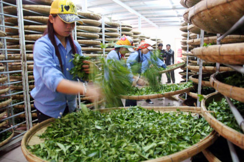 Bright prospect for tea exports in final quarter, vietnam economy, business news, vn news, vietnamnet bridge, english news, Vietnam news, news Vietnam, vietnamnet news, vn news, Vietnam net news, Vietnam latest news, Vietnam breaking news