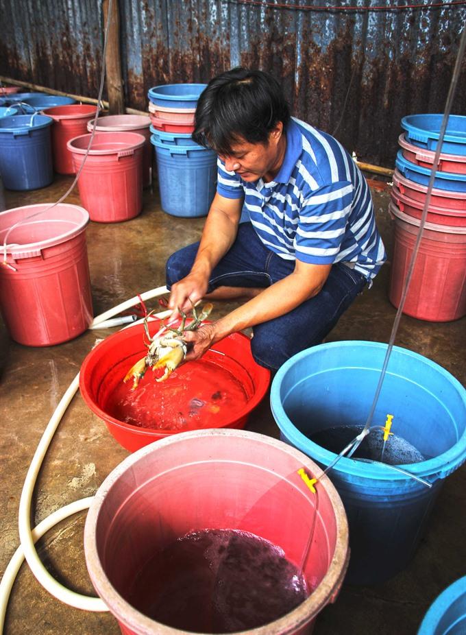 Crab farming in Vietnam's southern tip, social news, vietnamnet bridge, english news, Vietnam news, news Vietnam, vietnamnet news, Vietnam net news, Vietnam latest news, vn news, Vietnam breaking news