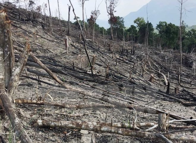 Deforestation ongoing in Binh Dinh: Report, environmental news, sci-tech news, vietnamnet bridge, english news, Vietnam news, news Vietnam, vietnamnet news, Vietnam net news, Vietnam latest news, Vietnam breaking news, vn news