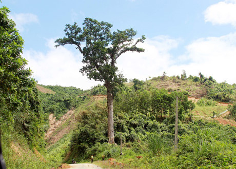 Thousand-year-old ironwood tree in Thanh Hoa a precious genetic resource
