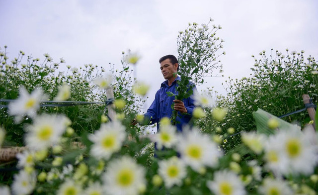 Hanoi farmers earn big during daisy season, social news, vietnamnet bridge, english news, Vietnam news, news Vietnam, vietnamnet news, Vietnam net news, Vietnam latest news, vn news, Vietnam breaking news