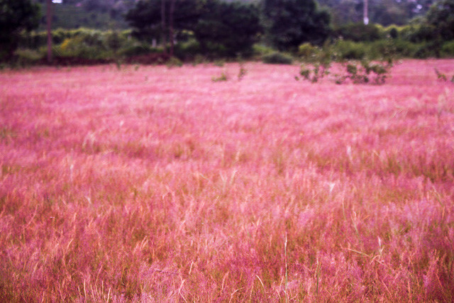 Discover vibrant pink grass hills of Gia Lai