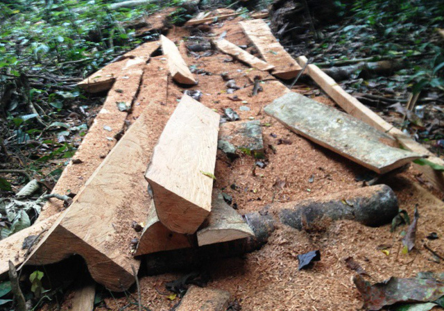 Illegal logging destroying Cuc Phuong National Park, Vietnam environment, climate change in Vietnam, Vietnam weather, Vietnam climate, pollution in Vietnam, environmental news, sci-tech news, vietnamnet bridge, english news, Vietnam news, news Vietnam,