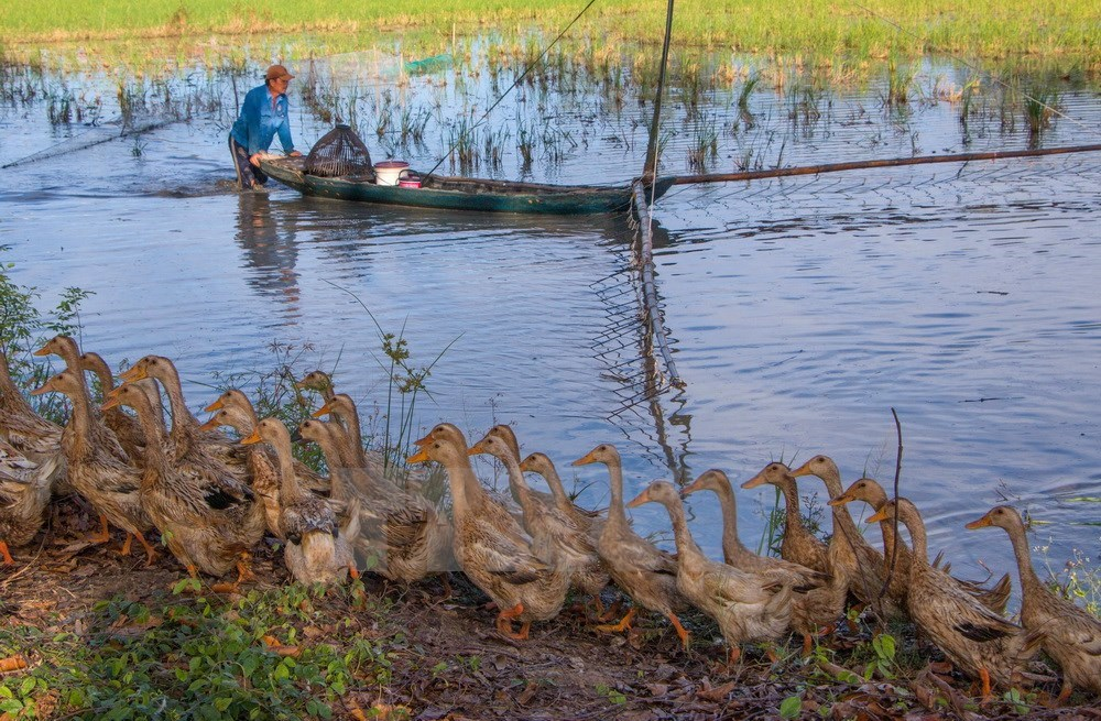 Fishing during flooding season in hau giang news vietnamnet for How to season fish