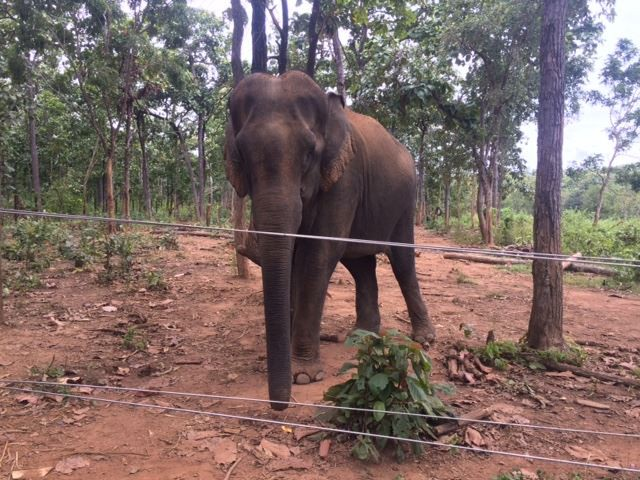 Elephant donated to Dak Lak conservation centre, environmental news, sci-tech news, vietnamnet bridge, english news, Vietnam news, news Vietnam, vietnamnet news, Vietnam net news, Vietnam latest news, Vietnam breaking news, vn news