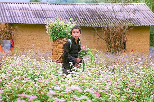 Buckwheat flowers bloom in Ha Giang, travel news, Vietnam guide, Vietnam airlines, Vietnam tour, tour Vietnam, Hanoi, ho chi minh city, Saigon, travelling to Vietnam, Vietnam travelling, Vietnam travel, vn news
