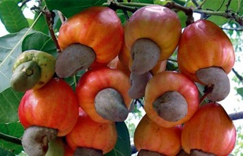 Vietnam, Cambodia to develop cashew farming area, Vietnam-Japan Joint Initiative helps improve business climate, Opportunity for Vietnamese food products to enter US market, Experts urge expanded cultivation of fruit exports