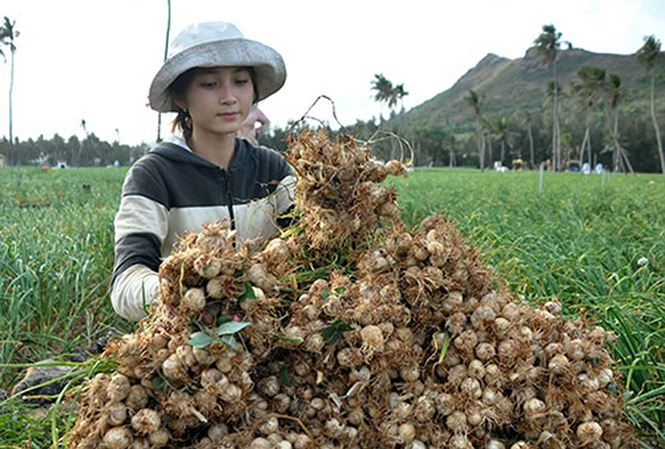 vietnam economy, business news, vn news, vietnamnet bridge, english news, Vietnam news, news Vietnam, vietnamnet news, vn news, Vietnam net news, Vietnam latest news, Vietnam breaking news, Ly Son garlic, exotic species, brand