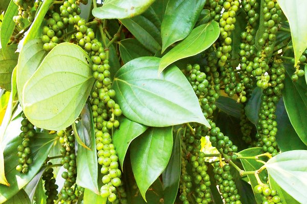 Pepper producers warned of difficult period ahead - News VietNamNet