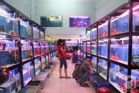 Ornamental fish breeders should scale up: experts, vietnam economy, business news, vn news, vietnamnet bridge, english news, Vietnam news, news Vietnam, vietnamnet news, vn news, Vietnam net news, Vietnam latest news, Vietnam breaking news