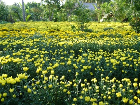 Nông dân chuẩn bị hoa mùa Tết
