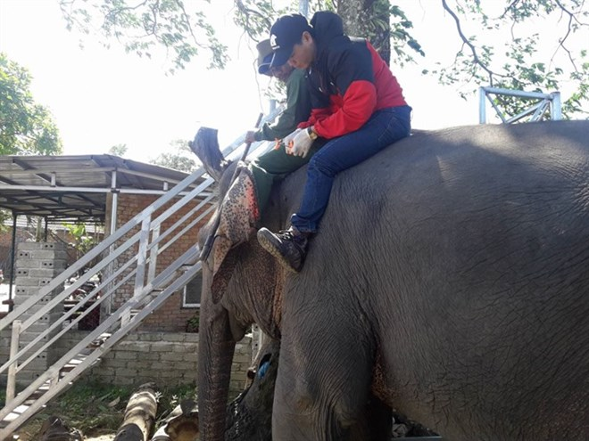 Bio-data chips implanted in tame elephants, Vietnam environment, climate change in Vietnam, Vietnam weather, Vietnam climate, pollution in Vietnam, environmental news, sci-tech news, vietnamnet bridge, english news, Vietnam news, news Vietnam, vietnamnet