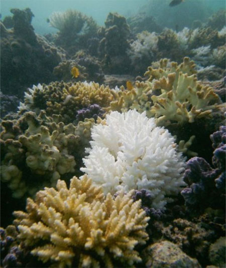 Coral reefs, warmer seawater, world's tropical corals