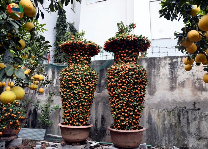 Kumquat trees and peach blossoms beautify Hanoi's winter, social news, vietnamnet bridge, english news, Vietnam news, news Vietnam, vietnamnet news, Vietnam net news, Vietnam latest news, vn news, Vietnam breaking news