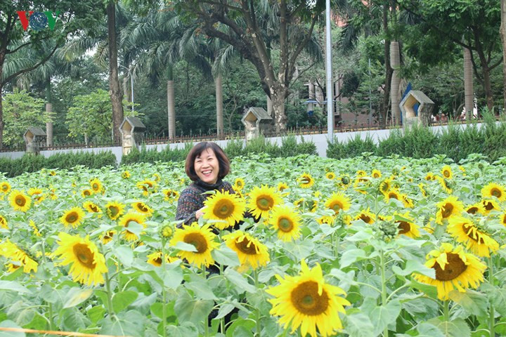 Beautiful sunflower garden in the heart of Hanoi, travel news, Vietnam guide, Vietnam airlines, Vietnam tour, tour Vietnam, Hanoi, ho chi minh city, Saigon, travelling to Vietnam, Vietnam travelling, Vietnam travel, vn news
