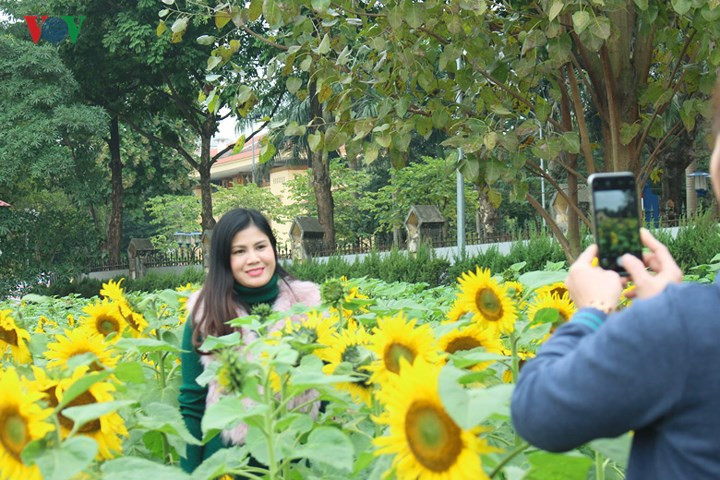 Beautiful sunflower garden in the heart of Hanoi