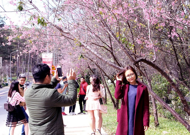 Da Lat coloured with pink prunus cerasoides blossoms, entertainment events, entertainment news, entertainment activities, what's on, Vietnam culture, Vietnam tradition, vn news, Vietnam beauty, news Vietnam, Vietnam news, Vietnam net news, vietnamnet news