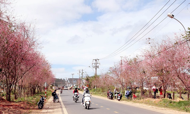 Da Lat coloured with pink prunus cerasoides blossoms