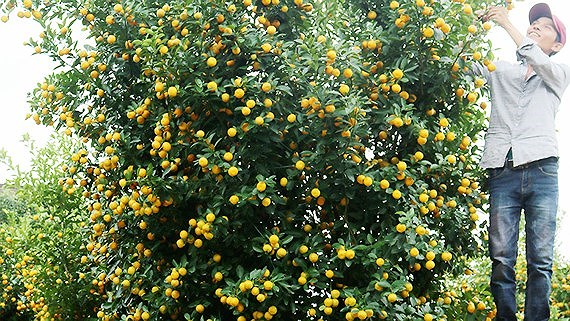 Miền trung bước vào giai đoạn cao điểm chuẩn bị hoa và trái cây dịp Tết