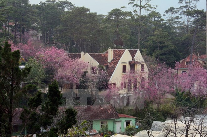 Da Lat cherry blossom festival to return this month, entertainment events, entertainment news, entertainment activities, what's on, Vietnam culture, Vietnam tradition, vn news, Vietnam beauty, news Vietnam, Vietnam news, Vietnam net news, vietnamnet news,