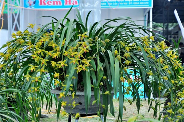 Sapa orchids, Dia lan Sa Pa, price, Vietnam economy, Vietnamnet bridge, English news about Vietnam, Vietnam news, news about Vietnam, English news, Vietnamnet news, latest news on Vietnam, Vietnam