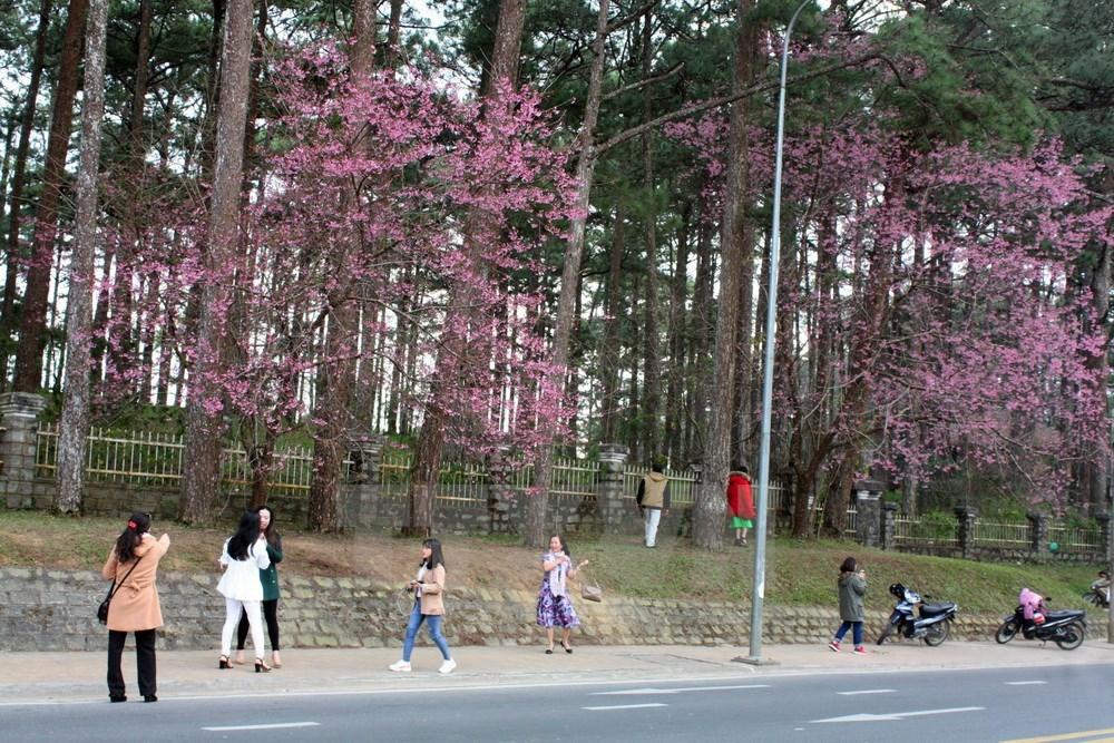 Cherry blossoms lure tourists to Da Lat, travel news, Vietnam guide, Vietnam airlines, Vietnam tour, tour Vietnam, Hanoi, ho chi minh city, Saigon, travelling to Vietnam, Vietnam travelling, Vietnam travel, vn news