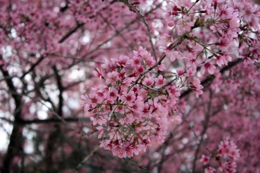 Cherry blossoms lure tourists to Da Lat