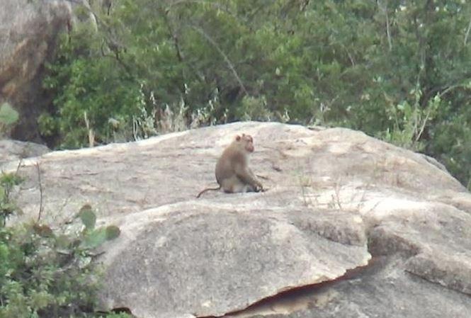 Monkeys destroy Ninh Thuan crops, social news, vietnamnet bridge, english news, Vietnam news, news Vietnam, vietnamnet news, Vietnam net news, Vietnam latest news, vn news, Vietnam breaking news