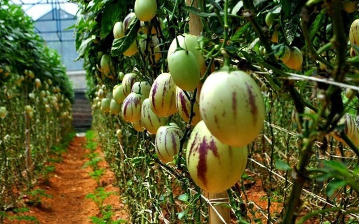 Miniature watermelons – a special Tet gift, social news, vietnamnet bridge, english news, Vietnam news, news Vietnam, vietnamnet news, Vietnam net news, Vietnam latest news, vn news, Vietnam breaking news