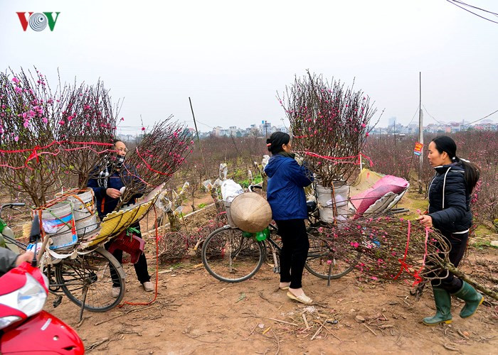 Hanoians rush to buy up peach branches on 15th day of lunar month, social news, vietnamnet bridge, english news, Vietnam news, news Vietnam, vietnamnet news, Vietnam net news, Vietnam latest news, vn news, Vietnam breaking news