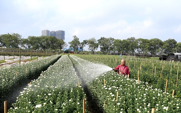 Tay Tuu flower village springs into life for Tet, social news, vietnamnet bridge, english news, Vietnam news, news Vietnam, vietnamnet news, Vietnam net news, Vietnam latest news, vn news, Vietnam breaking news