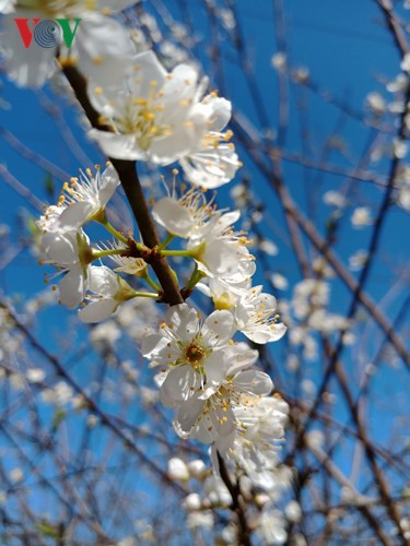 Son La plum trees in full white bloom, travel news, Vietnam guide, Vietnam airlines, Vietnam tour, tour Vietnam, Hanoi, ho chi minh city, Saigon, travelling to Vietnam, Vietnam travelling, Vietnam travel, vn news