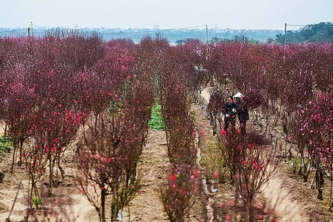 Peach blossoms, kumquats exude Tet spirit, entertainment events, entertainment news, entertainment activities, what's on, Vietnam culture, Vietnam tradition, vn news, Vietnam beauty, news Vietnam, Vietnam news, Vietnam net news, vietnamnet news, vietnamne