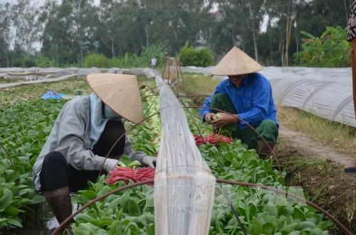 Hanoi's organic vegetables find few consumers, social news, vietnamnet bridge, english news, Vietnam news, news Vietnam, vietnamnet news, Vietnam net news, Vietnam latest news, vn news, Vietnam breaking news