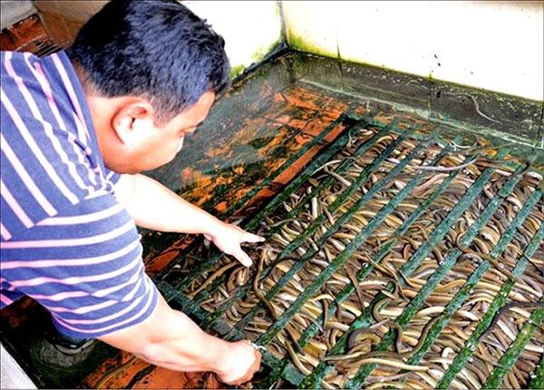 Thua Thien-Hue, farmer, breeding eels,  Vietnam economy, Vietnamnet bridge, English news about Vietnam, Vietnam news, news about Vietnam, English news, Vietnamnet news, latest news on Vietnam, Vietnam