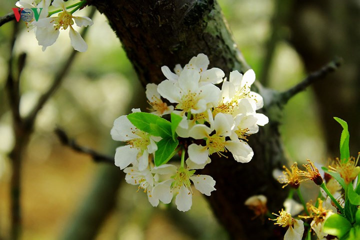 Plum blossoms flower in north-western region, travel news, Vietnam guide, Vietnam airlines, Vietnam tour, tour Vietnam, Hanoi, ho chi minh city, Saigon, travelling to Vietnam, Vietnam travelling, Vietnam travel, vn news