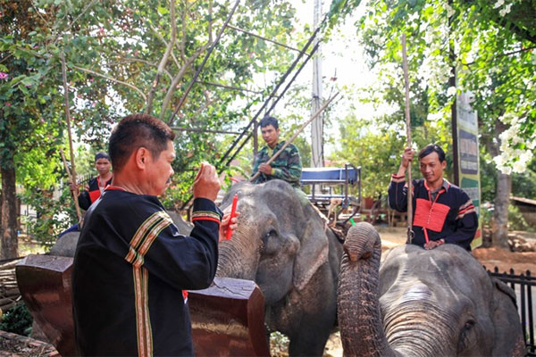 Dak Lak Elephant Preservation Centre, treat elephants, traditional techniques, Vietnam economy, Vietnamnet bridge, English news about Vietnam, Vietnam news, news about Vietnam, English news, Vietnamnet news, latest news on Vietnam, Vietnam