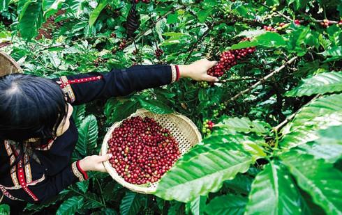 Indonesia craves Vietnamese coffee, vietnam economy, business news, vn news, vietnamnet bridge, english news, Vietnam news, news Vietnam, vietnamnet news, vn news, Vietnam net news, Vietnam latest news, Vietnam breaking news