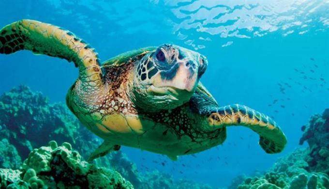 Rare sea turtle released in ocean, environmental news, sci-tech news, vietnamnet bridge, english news, Vietnam news, news Vietnam, vietnamnet news, Vietnam net news, Vietnam latest news, Vietnam breaking news, vn news