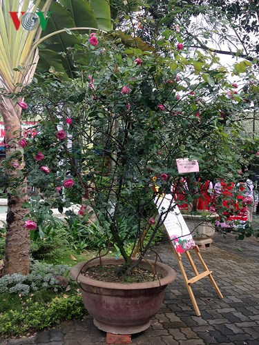 Ancient Sapa roses on show in Hanoi, entertainment events, entertainment news, entertainment activities, what's on, Vietnam culture, Vietnam tradition, vn news, Vietnam beauty, news Vietnam, Vietnam news, Vietnam net news, vietnamnet news, vietnamnet brid