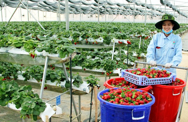 Hi-tech scrumptiousness at strawberry garden in Da Lat, social news, vietnamnet bridge, english news, Vietnam news, news Vietnam, vietnamnet news, Vietnam net news, Vietnam latest news, vn news, Vietnam breaking news