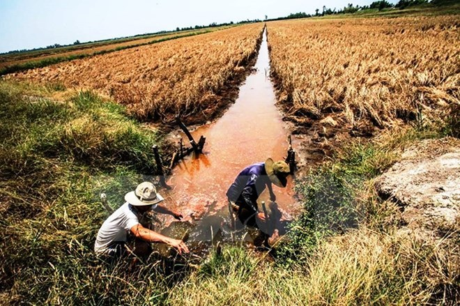 Over 40,000ha of rice to be hurt by saline intrusion in Hau Giang, Vietnam environment, climate change in Vietnam, Vietnam weather, Vietnam climate, pollution in Vietnam, environmental news, sci-tech news, vietnamnet bridge, english news, Vietnam news, ne