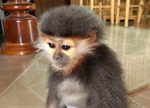 Quang Nam local resident hands over rare primate, Vietnam environment, climate change in Vietnam, Vietnam weather, Vietnam climate, pollution in Vietnam, environmental news, sci-tech news, vietnamnet bridge, english news, Vietnam news, news Vietnam, vietn